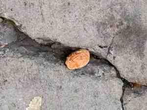 Lucky peach pit in sidewalk crack.