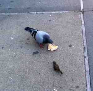 Mother Nature pigeon enjoying lunch.