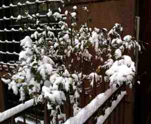 Snow covered rose bush of January.